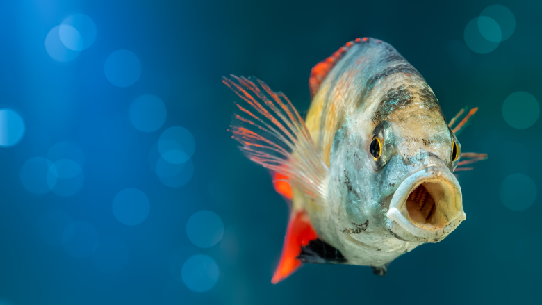 Oral organs of fish capable of tissue regeneration